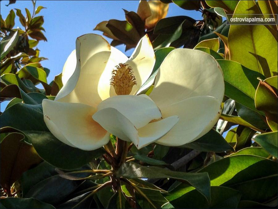 magnolia-2916