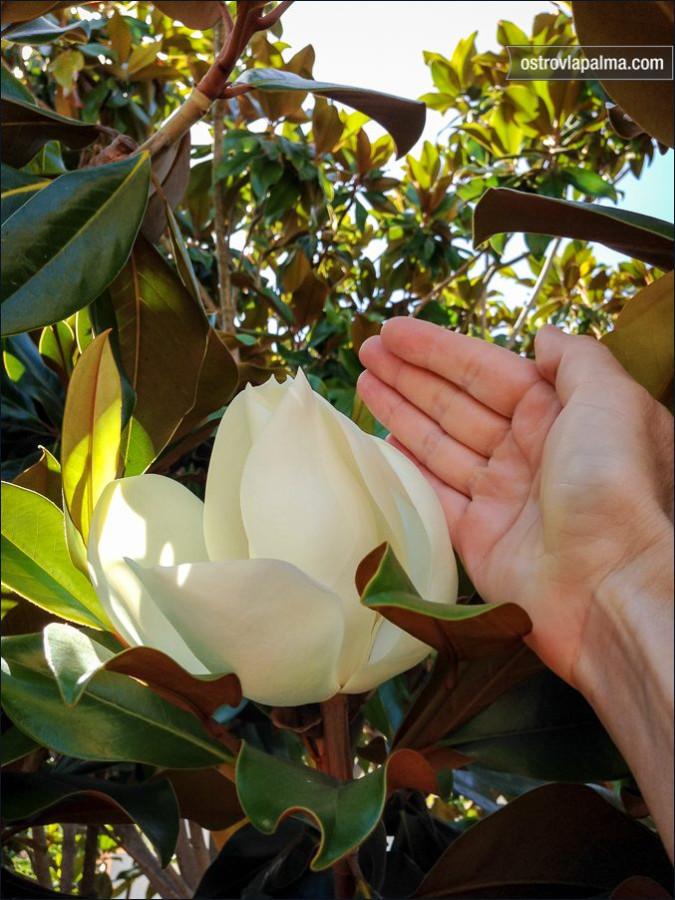 magnolia-2918