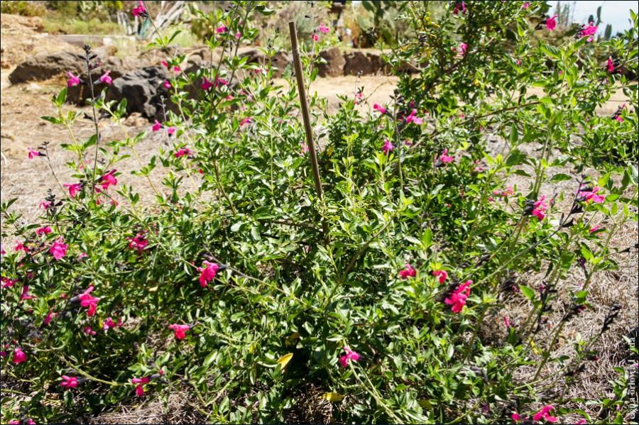 Salvia_microphylla-02357