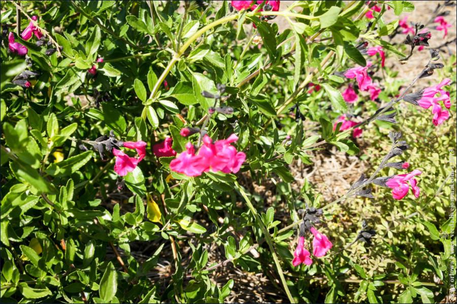Salvia_microphylla-02364