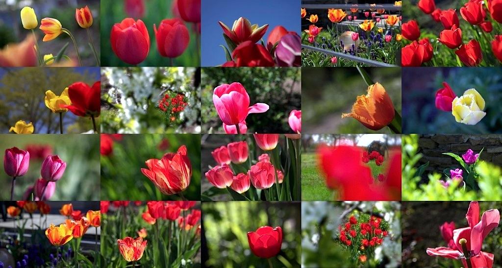 thumb_Таганрогские тюльпаны2_1024