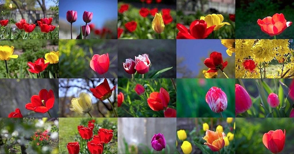 Копия Таганрогские тюльпаны