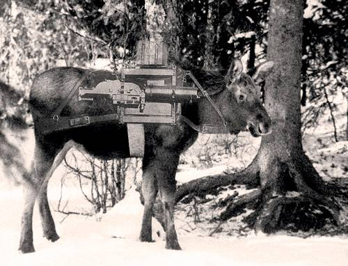 moose_young_1270108416_full