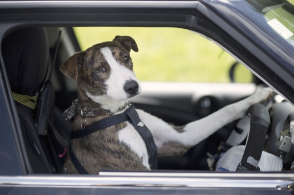 Australian-dog-driving