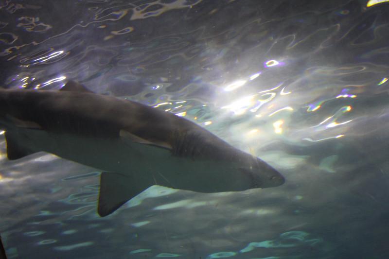акула снята в Барселонском Аквариуме