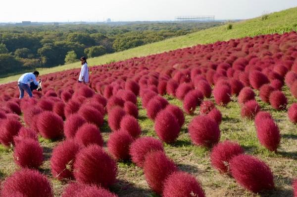 Красные холмы парка Хитачи