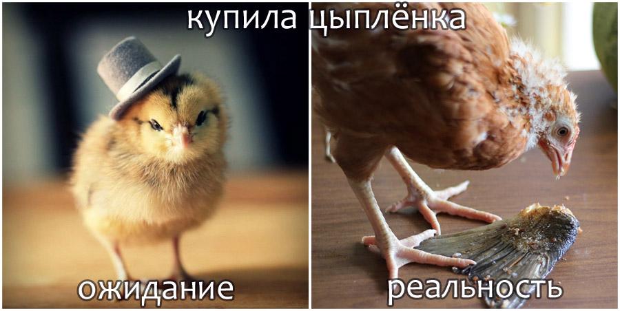 Купила цыплёнка