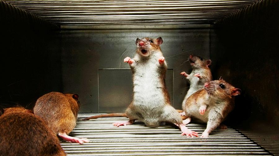 Общество-крыс-иерархия