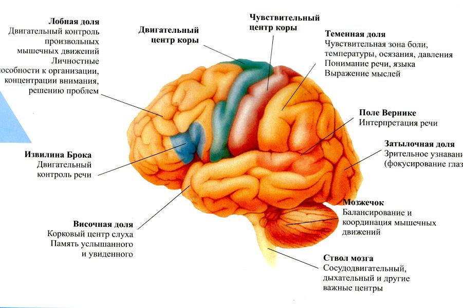 Зоны мозга.png