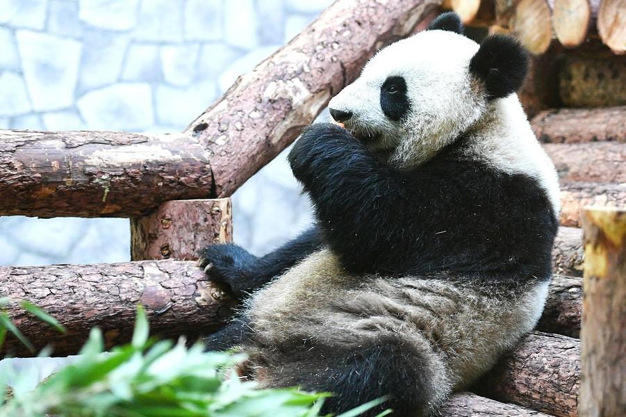 Панда в Московском зоопарке, 4.06.19.png