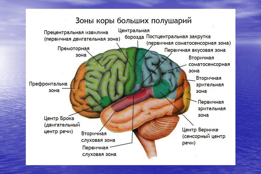 Головной мозг.png
