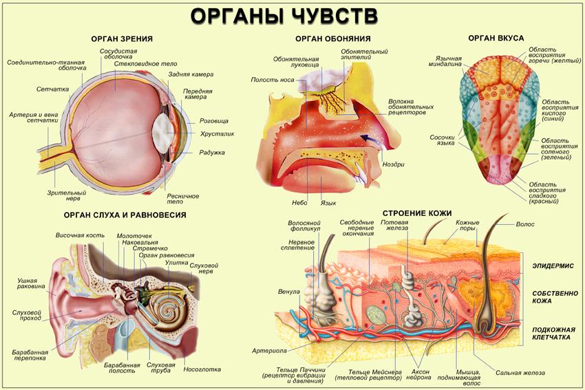 Схема строения пищеварительной системы человека фото 502