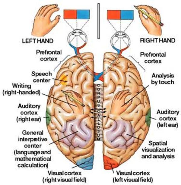 cervello_emisferi