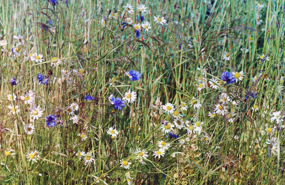 Васильки в поле ржи
