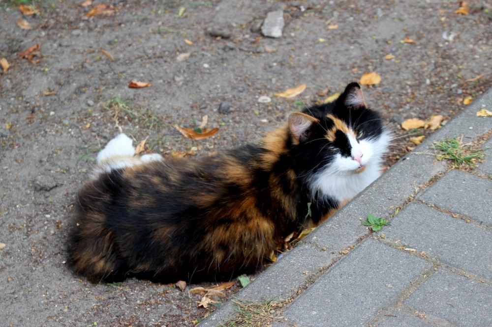 Коты и кошки города Зеленоградска IMG_0421.JPG