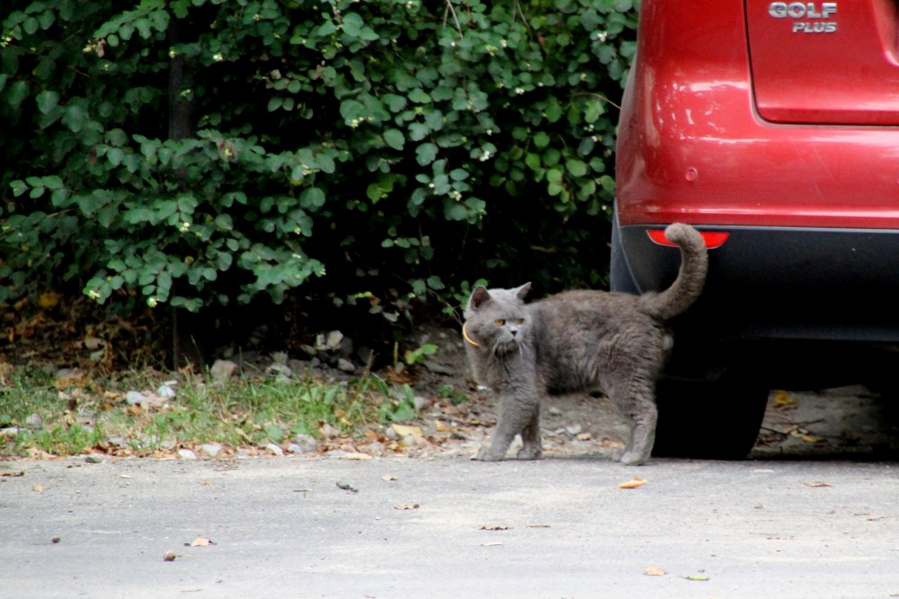 Коты и кошки города Зеленоградска IMG_0553.JPG
