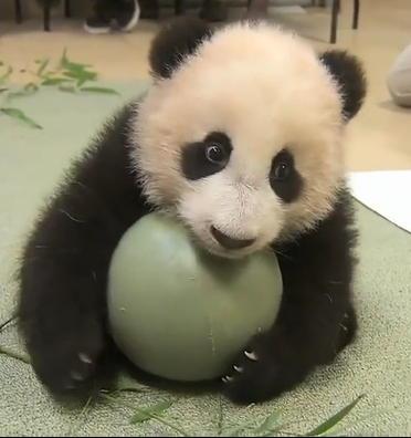 Панда жадина