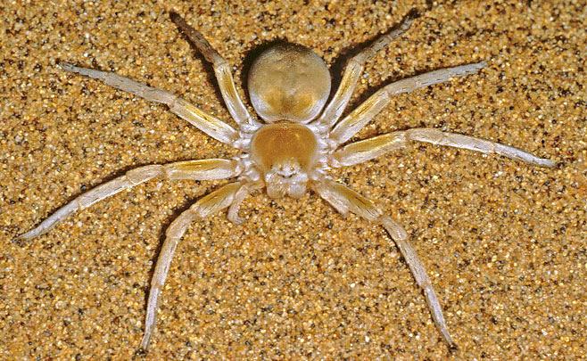 Катящийся паук фото
