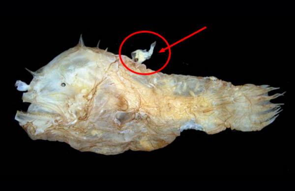 Male angler fish vs female angler fish