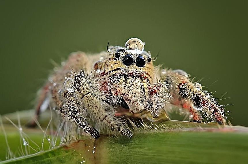 Ми-ми-ми пауки