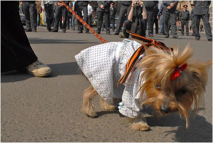 колорадская лента на собаке