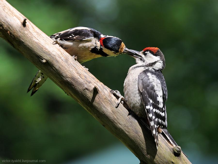 01_Woodpeckers_6279_900_LJ