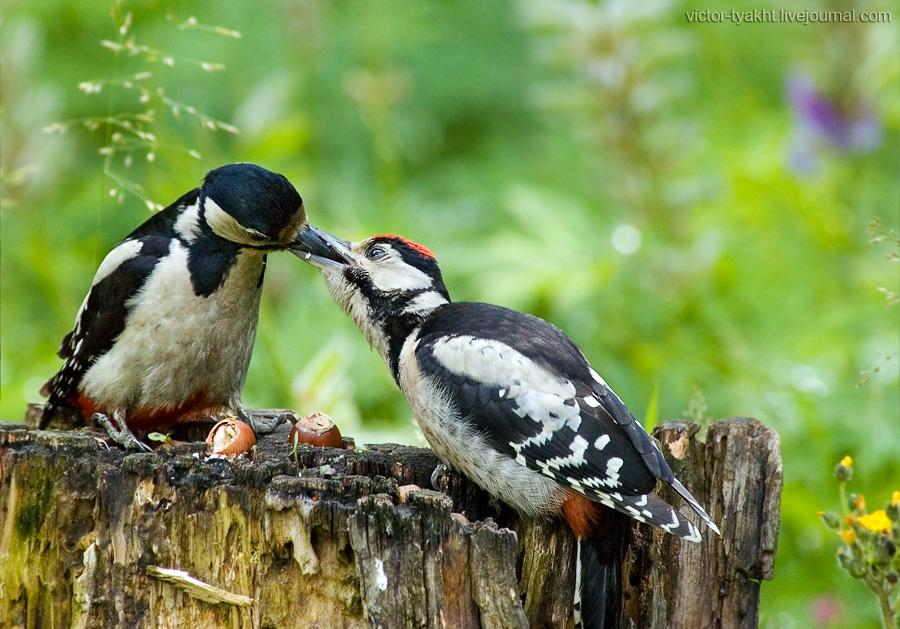 02_VTyakht.Birds.Woodpeckers_900_LJ