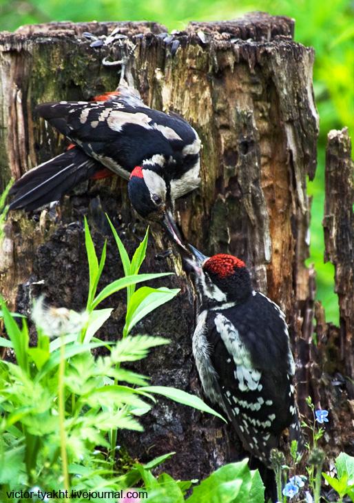 03_Woodpeckers_6503_730_LJ