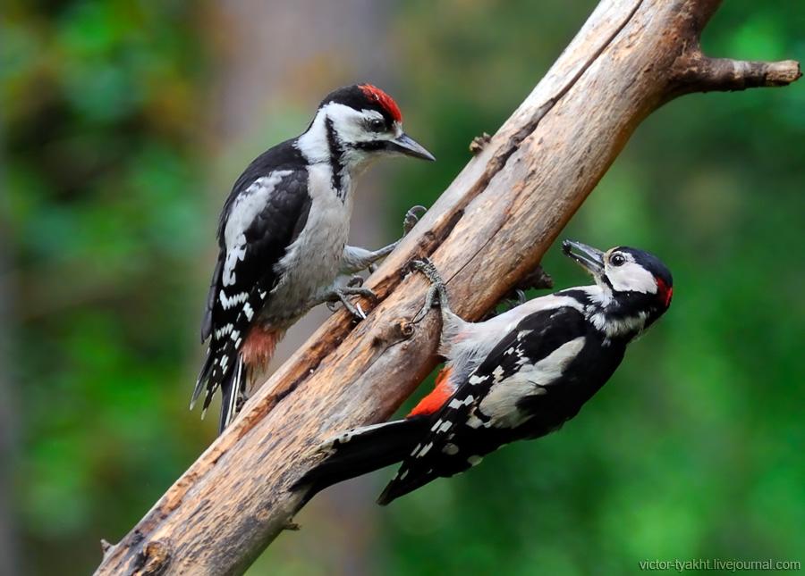 04_Woodpeckers_6506_900_LJ