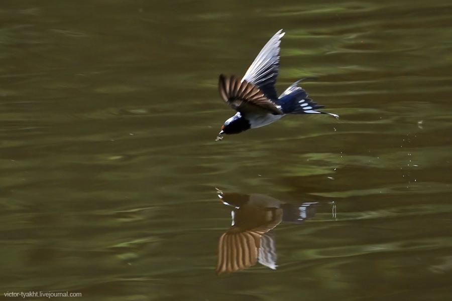 01_Swallow_1882_900_LJ