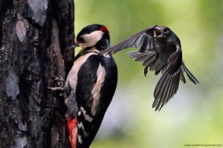 08_Woodpecker_Flycatcher_2197_900_LJ