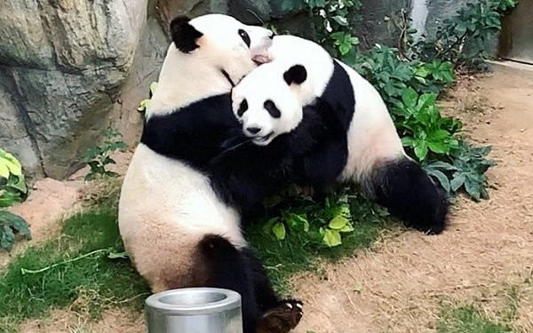 Карантин помог большим пандам