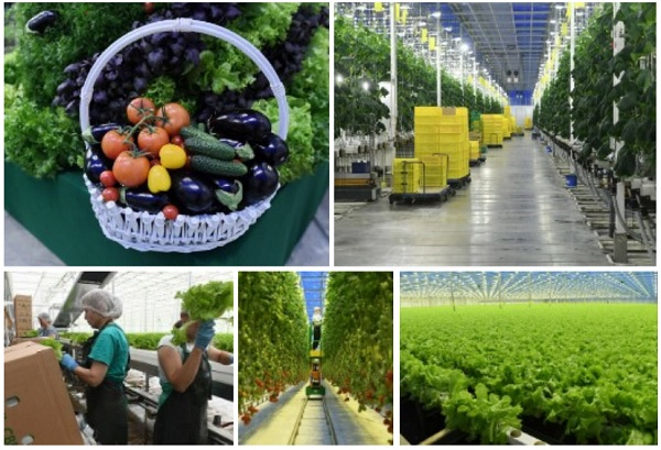 Цифровая теплица Ленинградской области накормит овощами Северо-Запад.