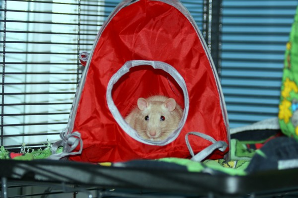 Scamper in his tent