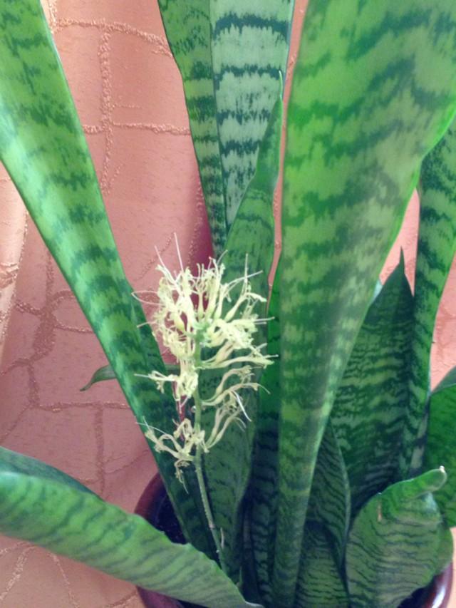 Тёщин язык цветок разновидности