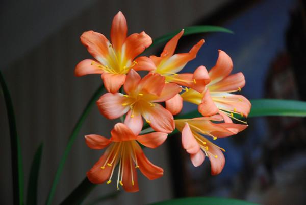 Цветущая кливия