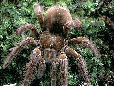 Theraphosa_blondi_2