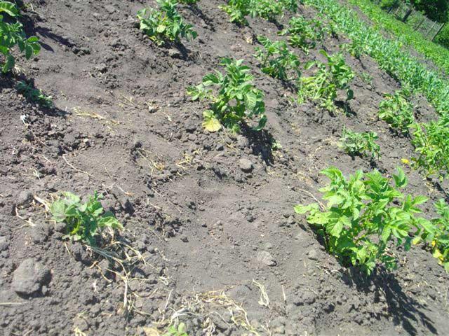 Картофель изреженная посадка