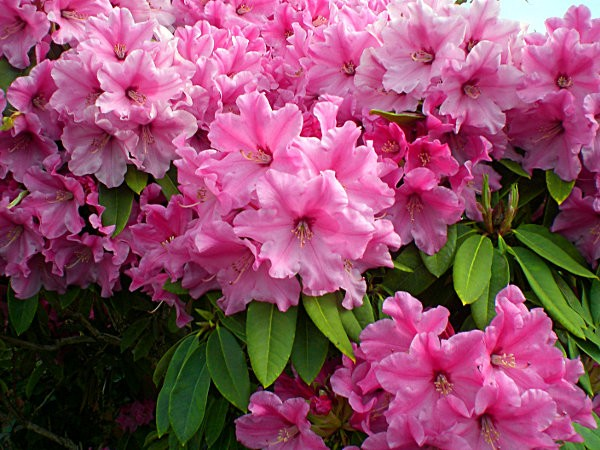 pinks2