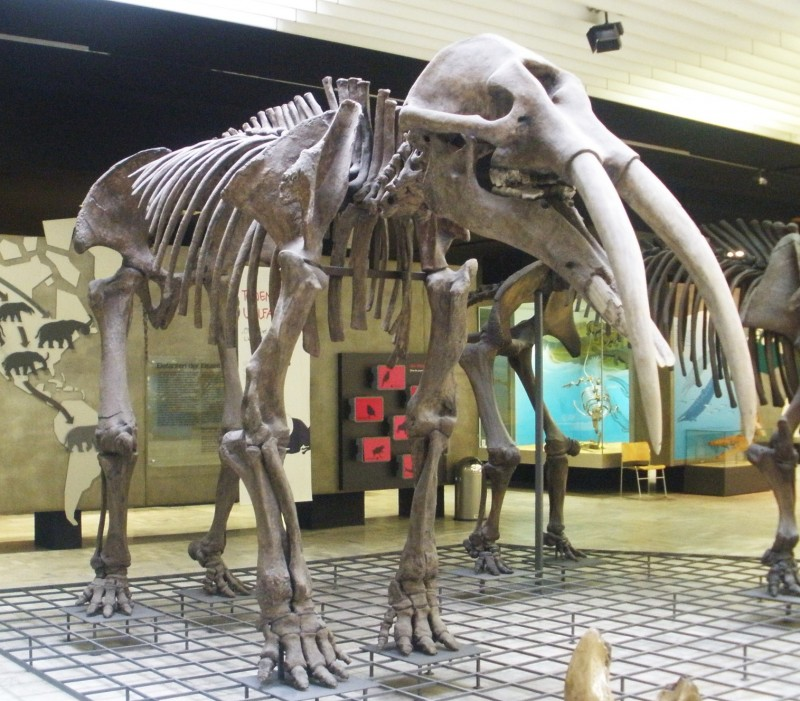 Gomphotherium_angustidens_2