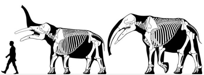 Gomphotherium_skeletals