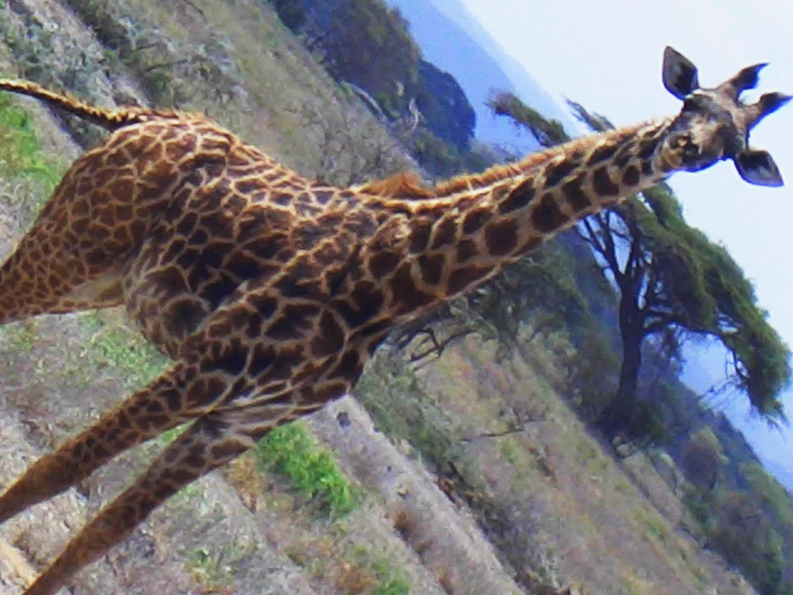 Жирафа не помещалась в кадр.