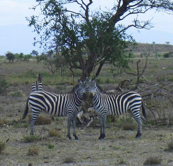 Зебры- полосатая лошадка. Рождаются они коричневыми, а потом становятся черно- белыми. Полоски уникальны.