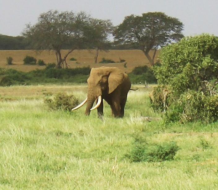 Самый грозный и опасный- слон. Особенно отдельно шатающийся. Рейнжер так разворачивал машину, чтобы при малейшей опасности быстро смыться.