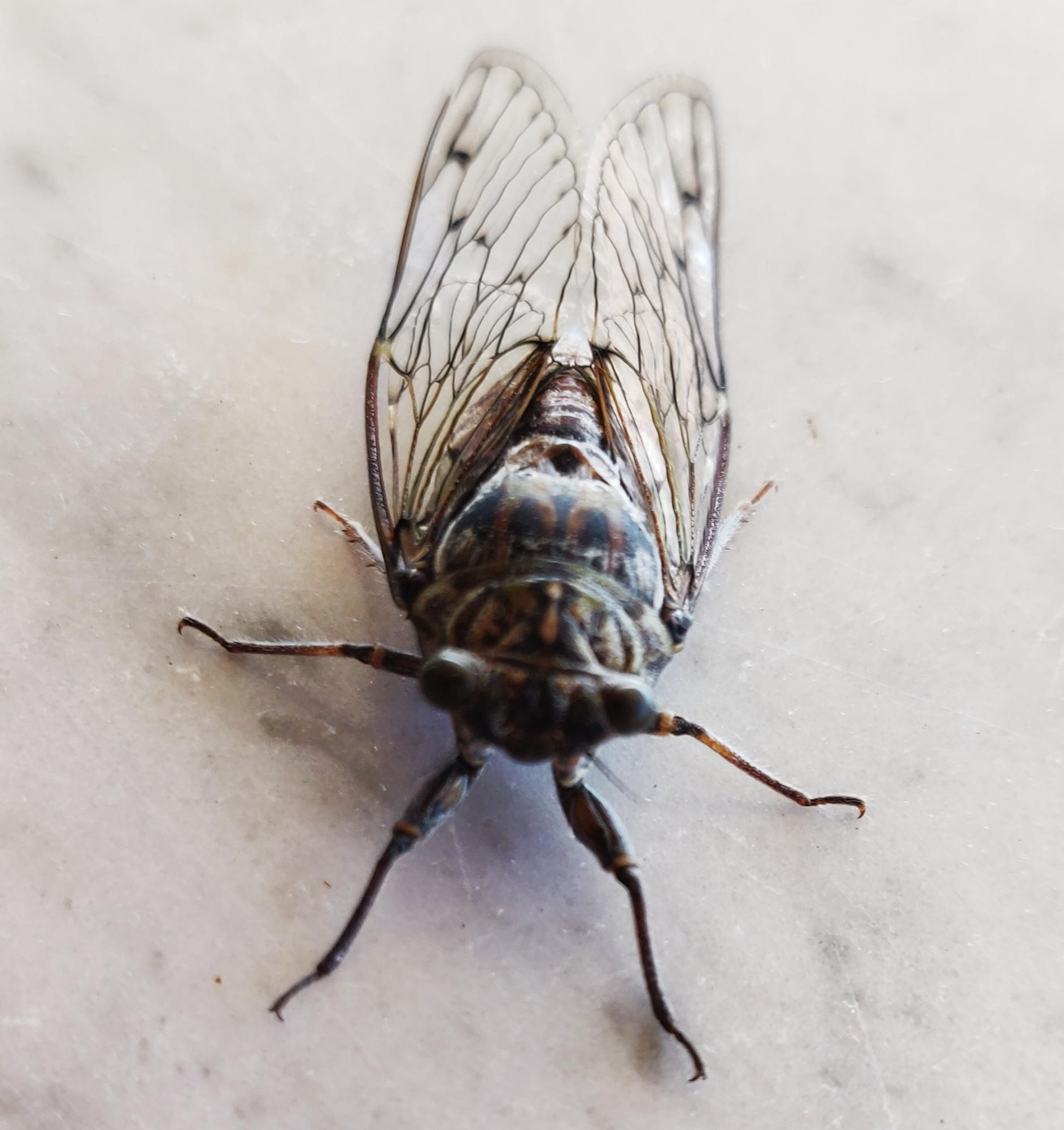 Тончайшей кистью черной тушью вырисован изящный узор.Трещит это насекомое чешуйками на животе. Как они не глохнут, не понимаю. А именно этим стрекотом мужские особи обещают любовь до гроба