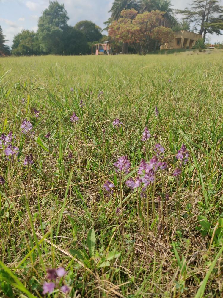 На нашем поле перед домом расцветают луковичные. Они, как фениксы, после осеннего дождя появляются на нашем поле.  И оно медленно покрывается сиреневой дымкой.