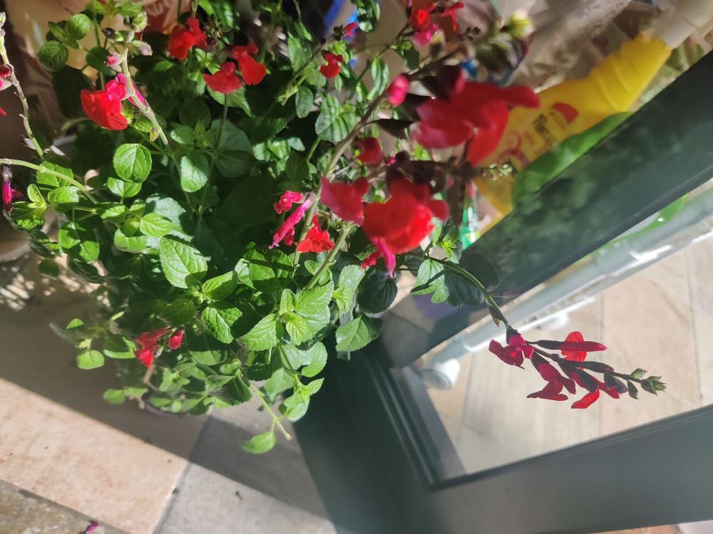 Это шалфей с красными цветочками, который я купила на осенней ярмарке