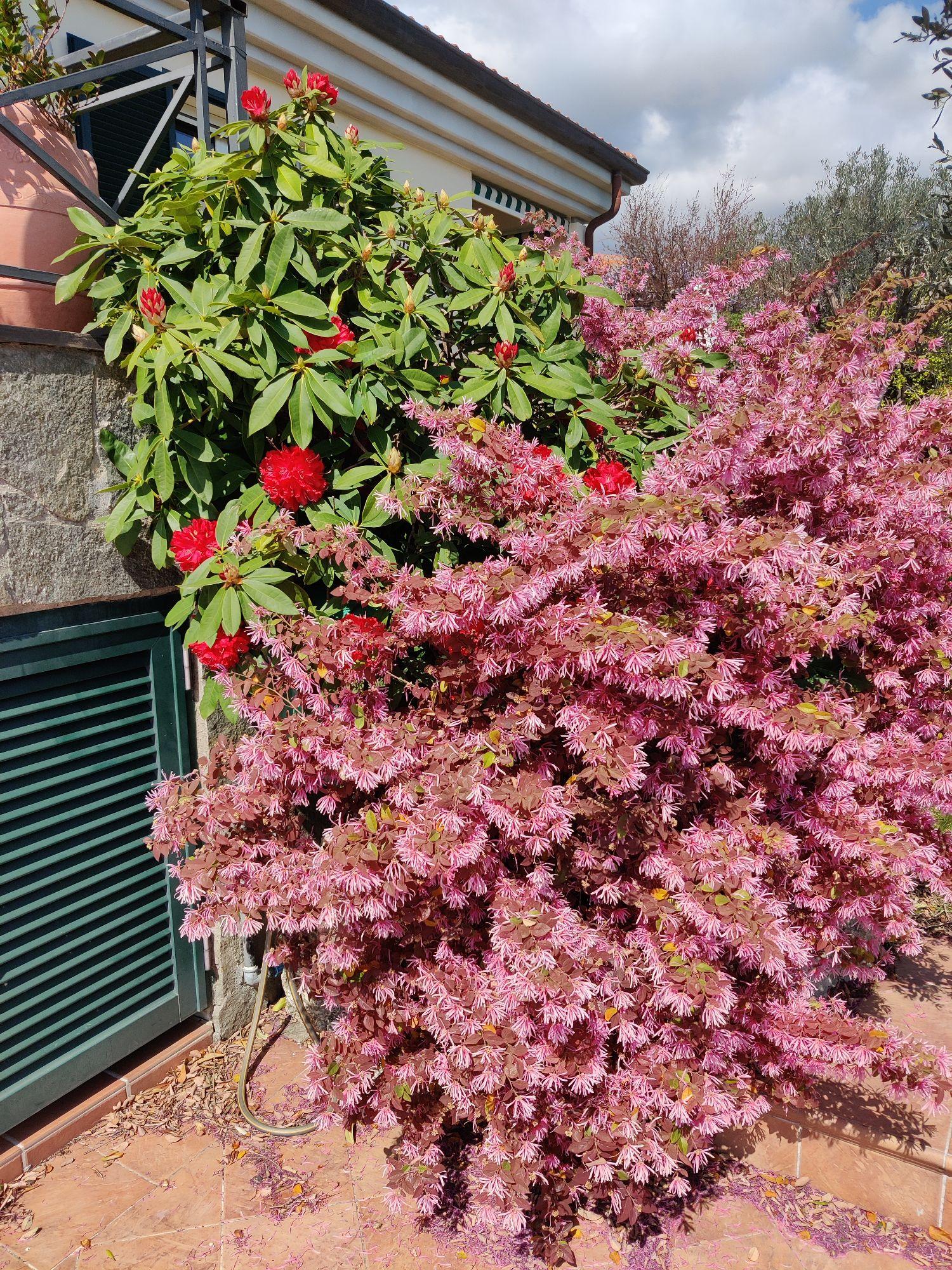 Эта красота в саду у соседей. Мой рододендрон ещё не цветет. Кустарник Гугл подсказал называется Loropetalum chinense. Редкой красоты и нежности, но без запаха.