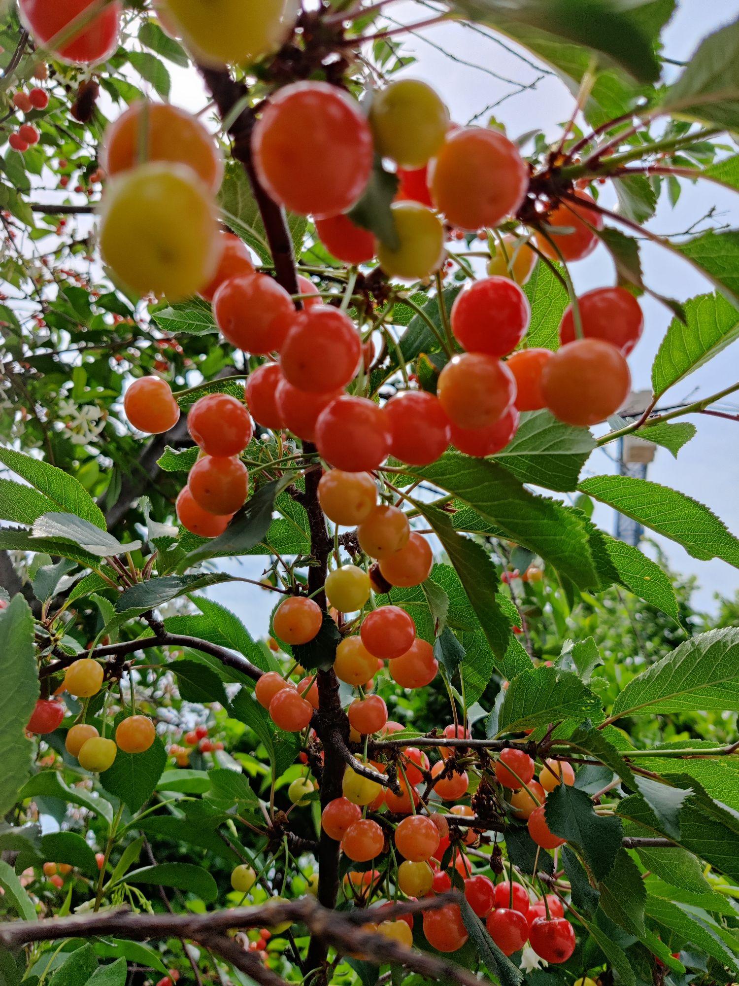 Спеет вишня ( не наша)