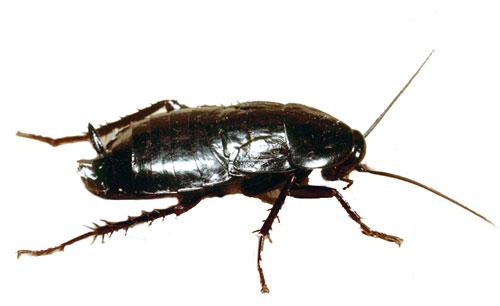 черный-таракан